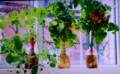 栽培キットで育てた「花や野菜」。(28.10.30)