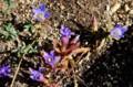 「銀河鉄道の夜」に登場する、「リンドウ」の花。(28.10.31)