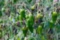 葉が霜枯れた「ピーマン」。(28.10.31)