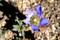 日差しを受けて開いた「リンドウ(竜胆)」の花。(28.11.4)