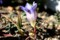 横から観た「リンドウ(竜胆)」の花。(28.11.4)