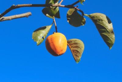 青空に、我が家の「守り柿」。(28.11.5)