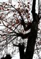「シナノガキ」に「カキ」を高接ぎした、不思議な柿の木。