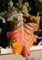 不思議な色合い、「スティック・ブロッコリー・セニョール」の紅葉。