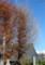 すっかり葉を落とした、西念寺の「イチョウ(公孫樹)」の木。(28.11.17
