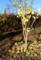 葉を落とした、賢治ガーデンの「イチョウ(公孫樹)」の幼木。(28,11,17