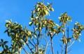 青空に映える、「ソヨゴ」の葉と実。(28.11.18)