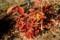赤褐色に色づいた「コナラ(小楢)」の葉。(28.11.18)