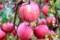 木で真っ赤に熟した、「無袋ふじ」。