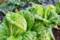 我が家で栽培した「白菜・オレンジクイン」。(28.11.)