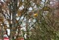 緑色の刺を巡らした、「カラタチ(枸橘)」の藪。(28.11.21)