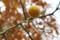 黄色に熟した「カラタチ(枸橘)」の実。(28.11.21)