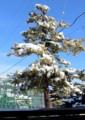 リギダ松、積雪に朝日が当たる。(28.11.25)
