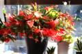 燃えるような「クリスマス・カクタス」の花。(28.11.26)
