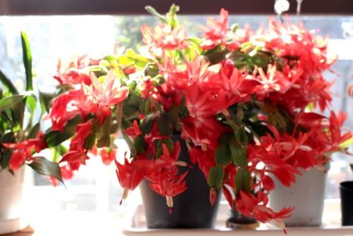 居間の窓辺で、真っ盛りの「クリスマス・カクタス」。(28.12.1)