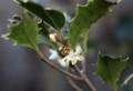 霜に負けずに、白い花を咲かせる「ヒイラギ(柊)」(28.12.3)