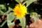 「フユシラズ(冬知らず)」の花。(28.12.3)