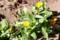 我が家の庭にも、「フユシラズ(冬知らず)」の花が…。(28.12.3)