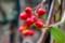 園芸別品種で、赤みが鮮明な「コトネアスター」。(28.12.5)