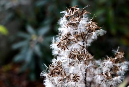 山菜・「モミジガサ(紅葉傘)」の冠毛。(28.12.5)