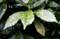 「アオキ(青木)」の葉もしっとりと。(28.12.6)