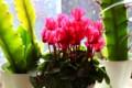 鉢花に、出窓は天国…。(28.12.14)