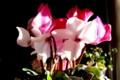 赤・白咲き分けの,シクラメン。(28.12.19)