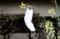 「ブロッコリー」の花とマスクが、風に吹かれて…。(28.12.23)