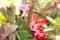 律儀にも、花開いた「クリスマスカクタス・蝦蛄葉仙人掌)」(28.12.25)