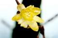 出窓で、花開いた「満月ロウバイ(臘・蝋梅)」の花。(28.12.27)
