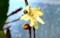 出窓で咲き始めた、「ロウバイ(臘・蝋梅)」。(28.12.29)