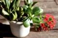 「セロジネ」の鉢に、1本の「カランコエ」が同居。(28.12.30)