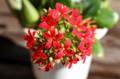 花弁が5枚のも、「カランコエ」。(28.12.30)