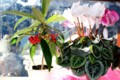 「シクラメン」と、お正月の花・「カラタチバナ(唐橘)」。(28.12.31)