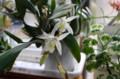「セロジネ」など、窓辺の鉢花。(29.1)