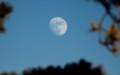 リギダ松の枝の間に、「十二月十三日」のお月さま。(29.1.10)(15:40)