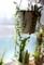 出窓の「緑の鈴・グリーンネックレス」ハンギング鉢。(29.1)