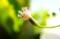 「緑の鈴・グリーンネックレス」の花。(29.1)