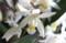 「セロジネ」、1個の花。(29.1.12)