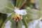 沈丁花の葉に積もる、粉雪。(29.1.14)