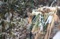 庭先の「注連縄」・稲穂に取り付く「スズメ(雀)」。(29.1.16)