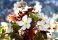日を透かして、美しい「プリムラ・シネンシス」の、花と葉。(29.1.20)