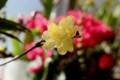 出窓で花開いた、「ロウバイ(臘・蝋梅)」の切り花。(29.1.23)