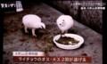 テレビ放映、「ライチョウ(雷鳥)」(29.1.30)