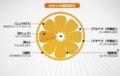 蜜柑の果実、構造の模式図。(29.1.30)