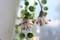 「緑の鈴・グリーンネックレス」の花・冠毛。(29.2.2)