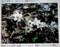 千曲市の群生地で、「節分草」の見学。(26.3.16)