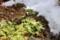 残雪が後退、姿を表した冬越し中の「原種プリムラ」。(29.2.6)