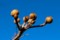 膨らんだ、「サンシュユ(山茱萸)」の冬芽。(29.2.15)