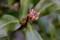膨らんだ「ジンチョウゲ(沈丁花)」の蕾。(29.2.20)